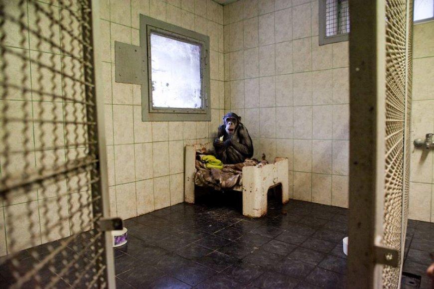Šimpanzė Regina savo kalėjime