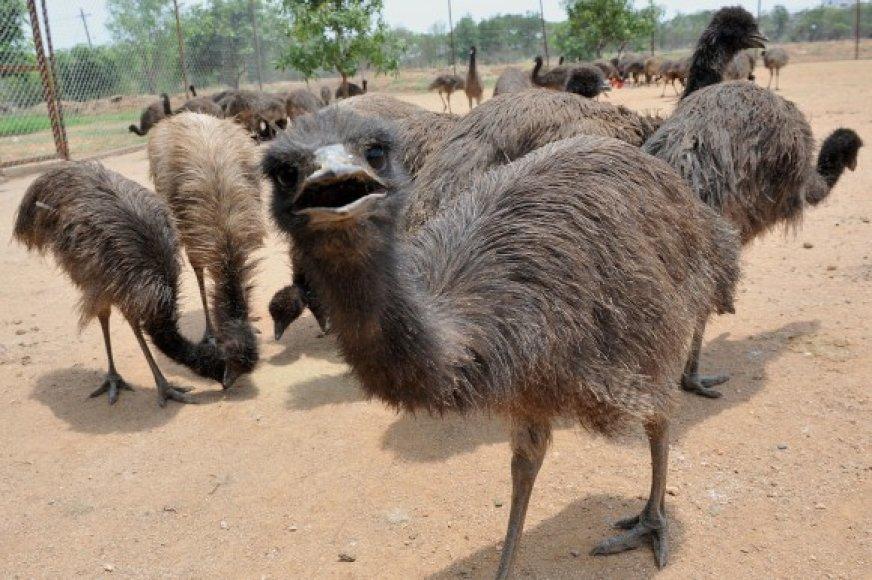 Stručiukai emu