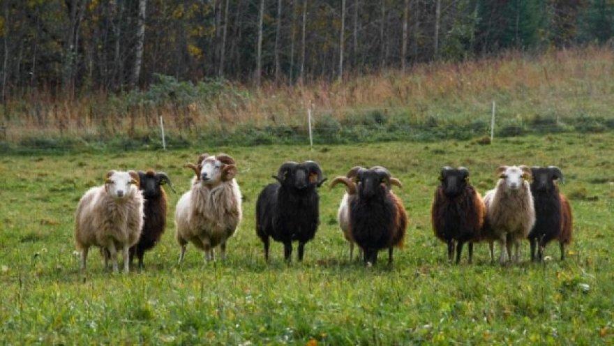 Škudžių avinų būrys