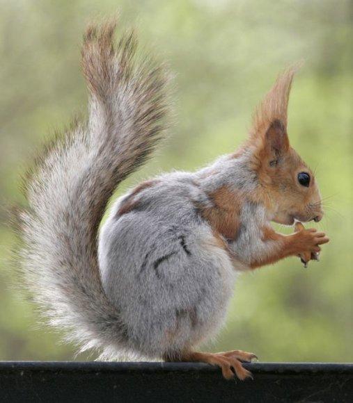 Krasnojarsko voveraitė
