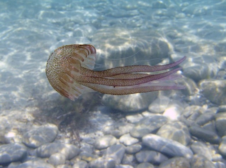 Viduržemio jūroje gyvenanti medūza