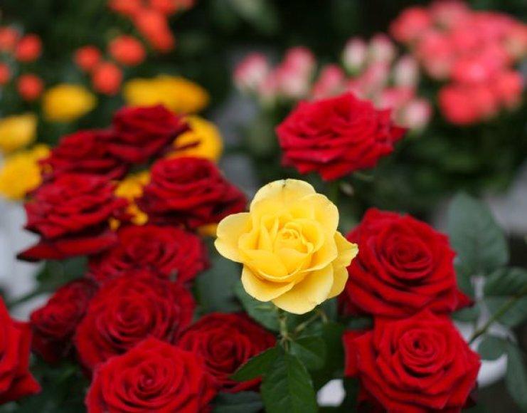 Mieste raudonai žydėti baigiančias gėles keičia mėlynos našlaitės.