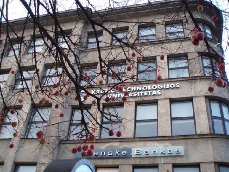 """Netoli Laisvės alėjos fontano ant liepų """"užaugo"""" obuoliai. 2009-04-01"""