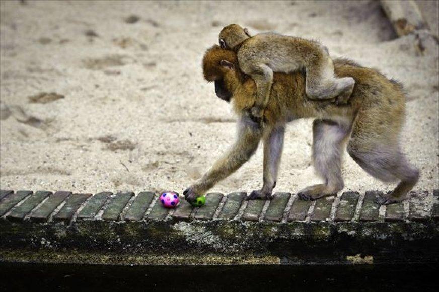 Beždžionė neatsispyrė smalsumui.