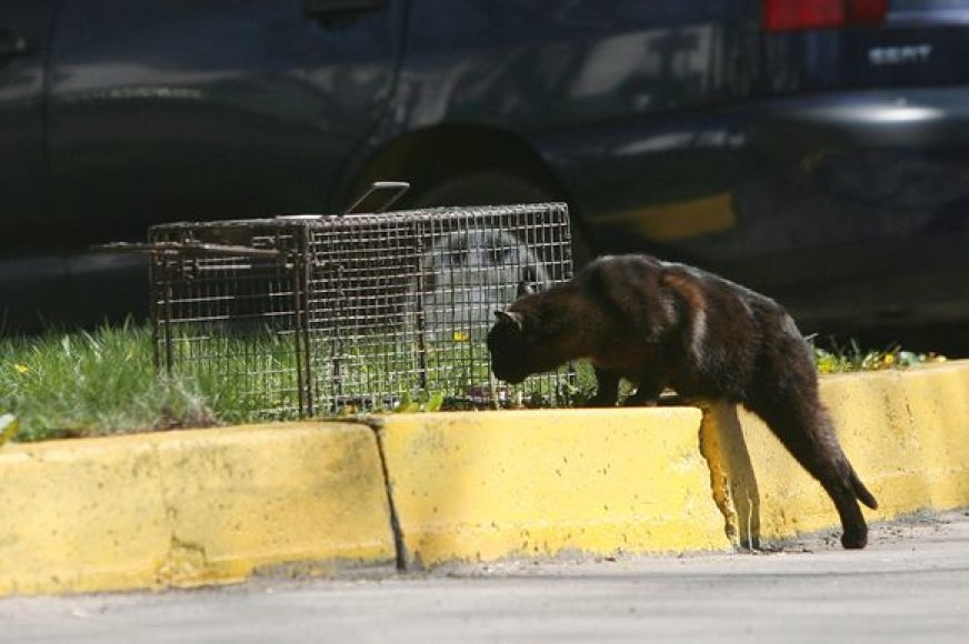 Paskiepytos ir sterilizuotos katės nekelia pavojaus aplinkiniams, nesidaugina.