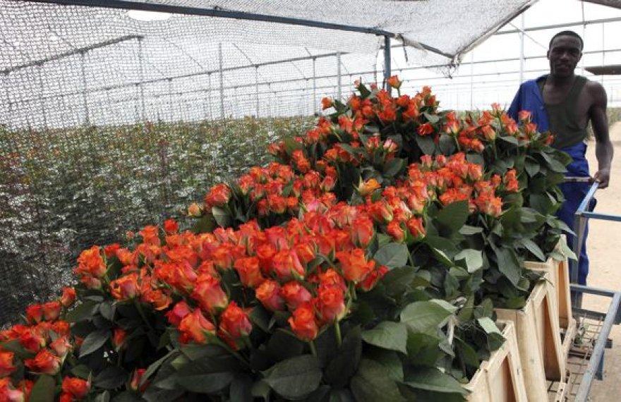 Rožių augintojas Kenijoje