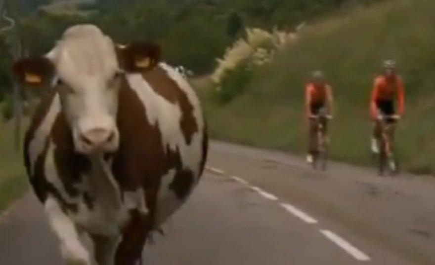 Trasoje netikėtai atsidūrusios karvės dar kurį laiką bėgo paskui dviratininkus.