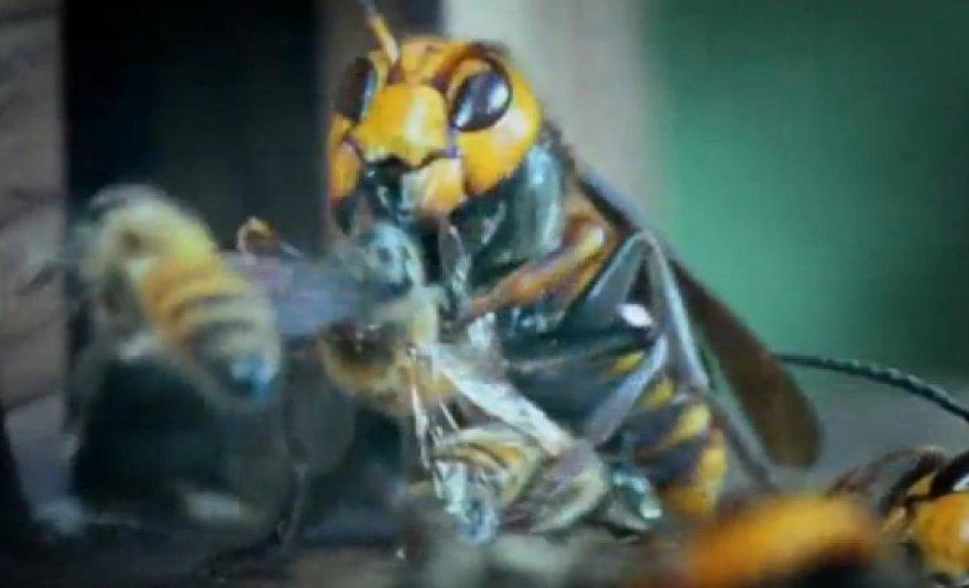Japoninė vapsva kovoja su bitėmis.