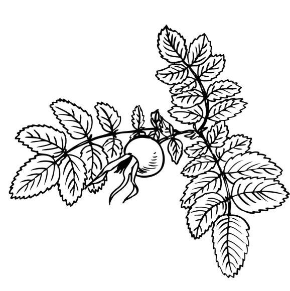 Jurgos Radzevičiūtės iliustracija/Laukinė rožė