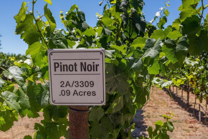Vida Press nuotr./Pinot Noir vynuogynas