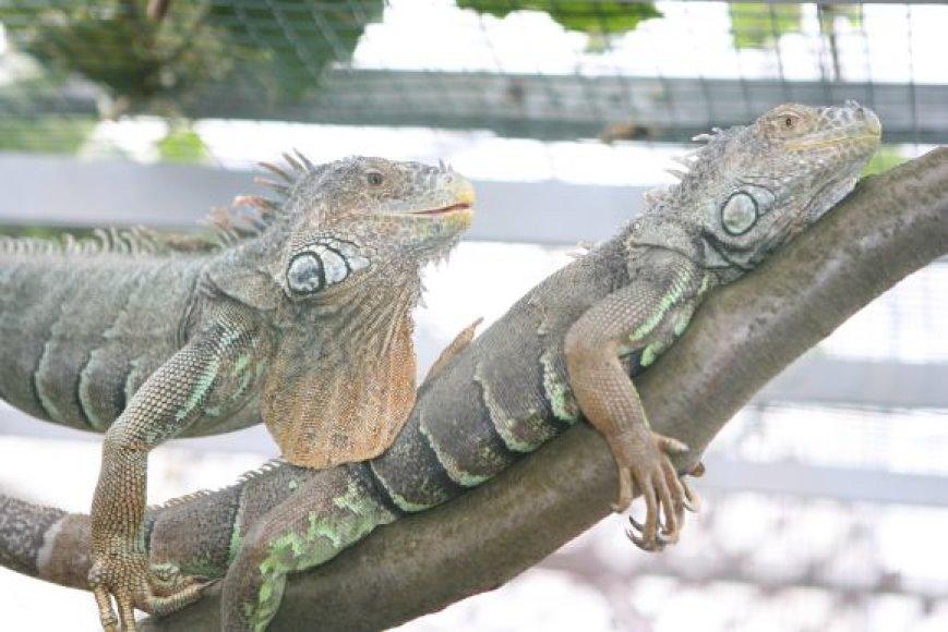 """Iguanos – vienos iš VDU botanikos sodo """"gyvojo kampelio"""" gyventojų."""