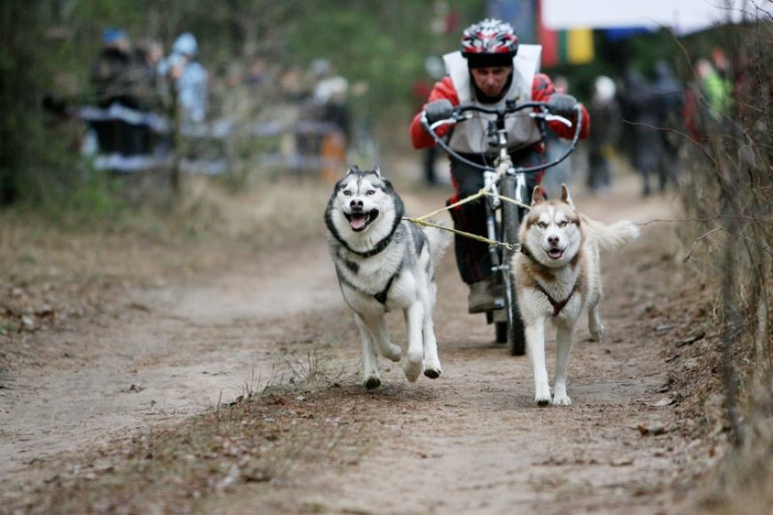 Haskiai - idealūs šunys, tinkantys šunų kinkinių sportui.