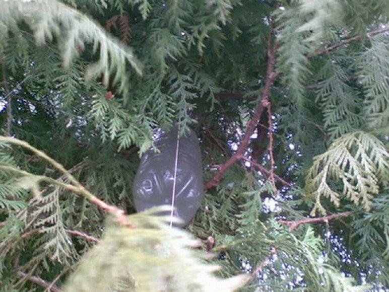 Kaunietė slėpė pilstuką kieme, po tujomis