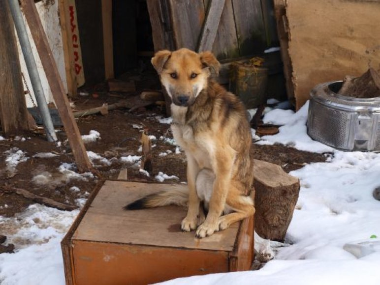 Badu marintas šuo