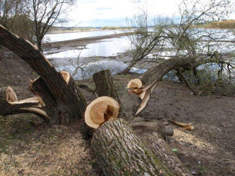 Medžių niokotojai ieškomi