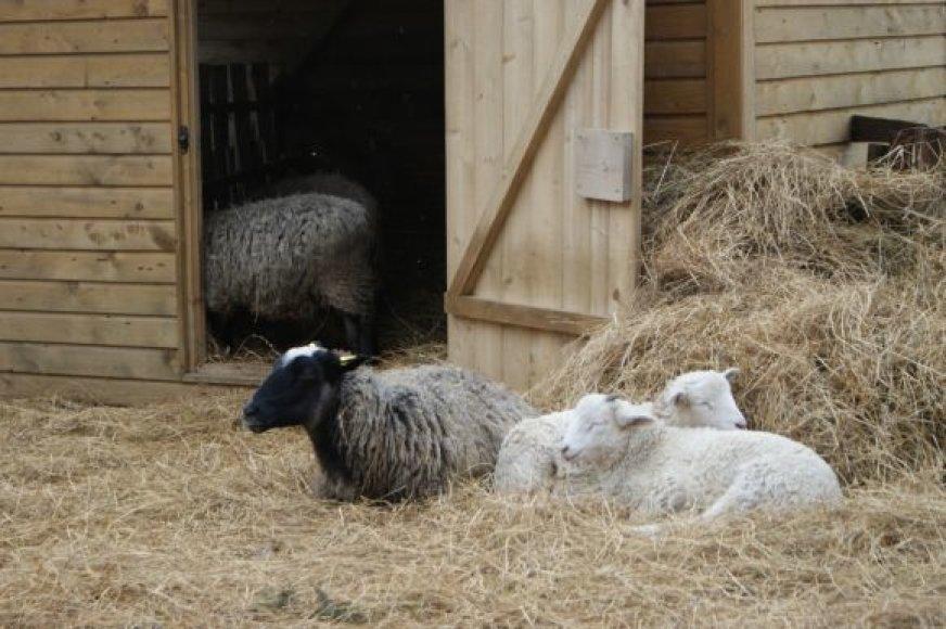 Prekybos miestelyje apsigyveno avys