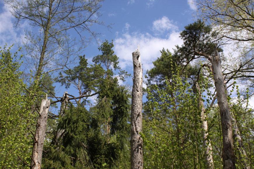 R.Mikalčiūtės-Urbonės/15min.lt/Tarsi nupjauti – taip atrodantys medžiai Kadagių slėnyje primena 2010 m. praūžusį škvalą