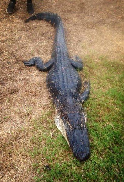 Douglaso Hollando nuotr./Luizianoje gyvenantis Douglasas Hollandas prie aligatorių pripratęs nuo vaikystės