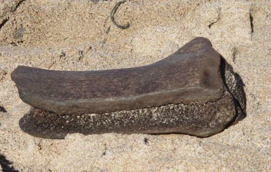 Prie Olando kepurės pakrantėje rastas kaulas galėjo priklausyti mamutui.