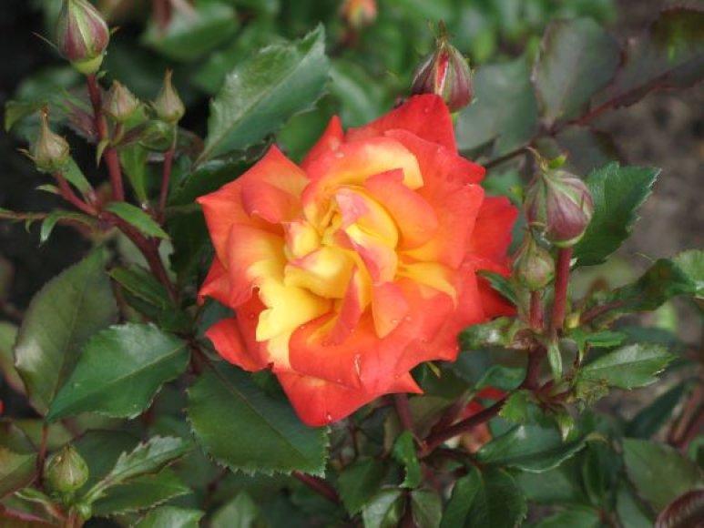 Rožės.