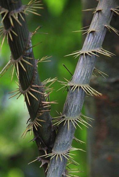 Tropinio medžio rotango medžio kamienas