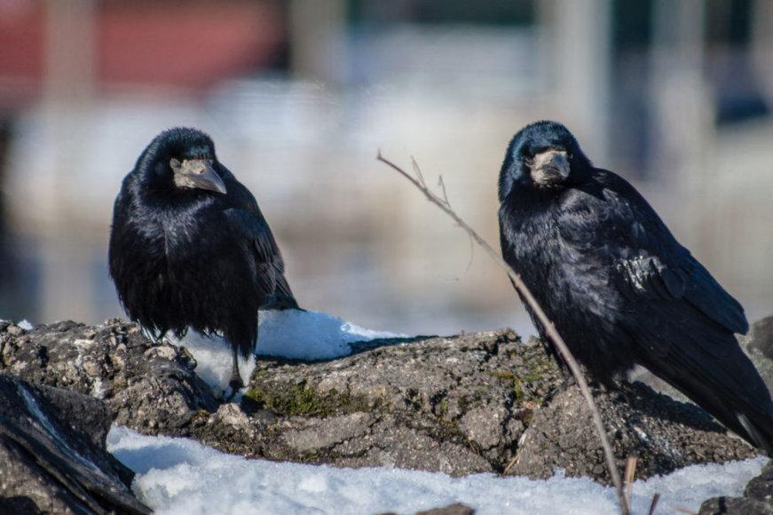 Miesto paukščiai