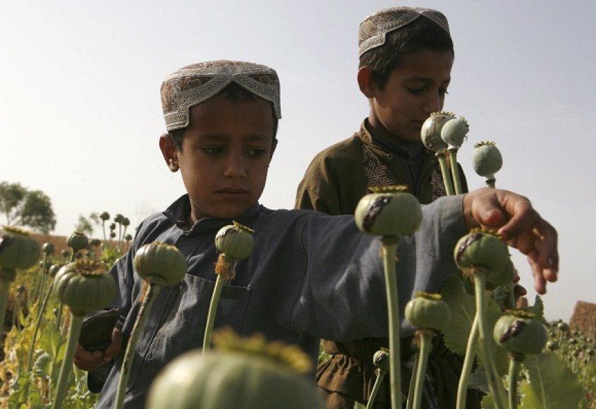 Afganistano aguonų laukai