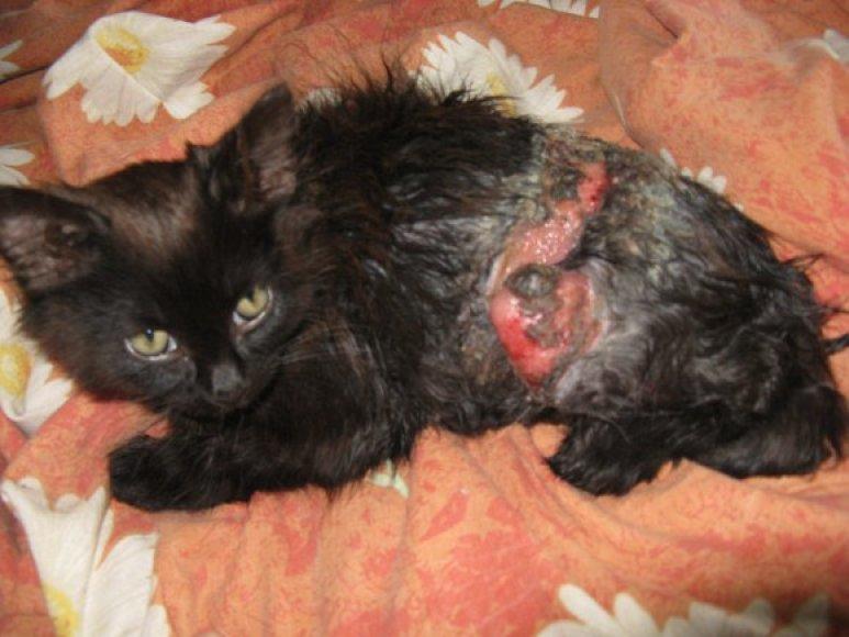 Gyvūną nudraskyta nugara, kraujuojantį pavyko surasti, šiuo metu jis gydomas, bet jo būklė labai sunki.