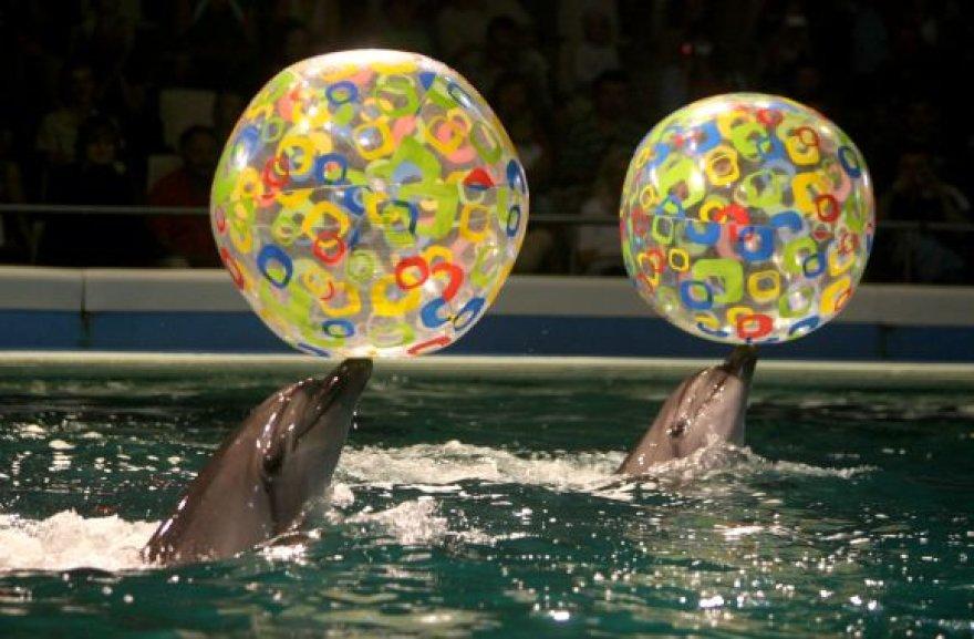 Kol delfinariumas bus remontuojamas, delfinai ir jų treneriai viešės Graikijoje, Atikos zoologijos sode.