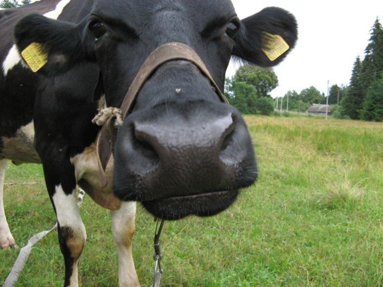 """Konkursas """"Liūdniausia karvė"""""""