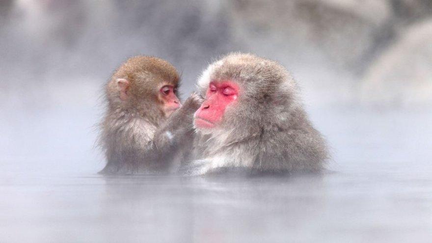 Japoniškos makakos