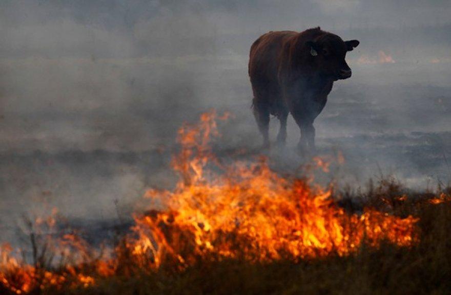 Nuo gaisro pabėgęs bulius