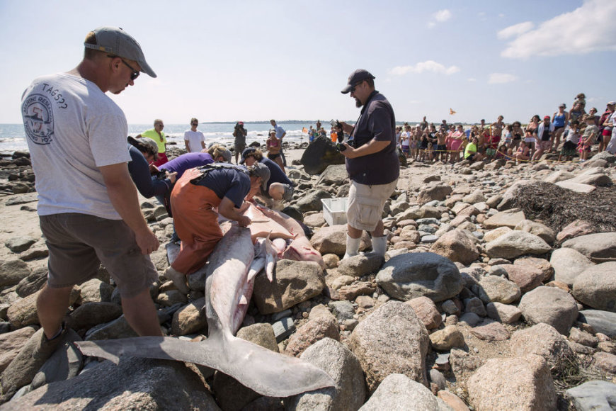 Ant kranto rastas negyvas baltasis ryklys