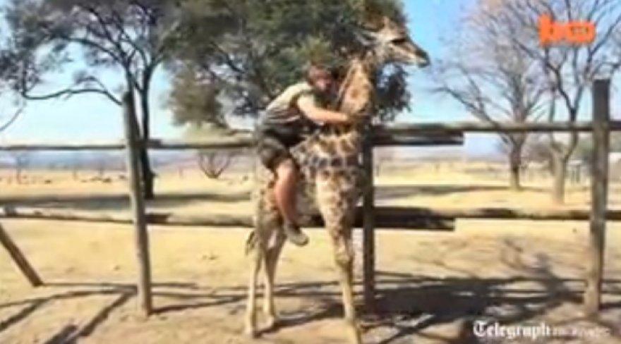 S.Larenty išaugino mažylę žirafą, kai po gimimo ją atstūmė jos mama.