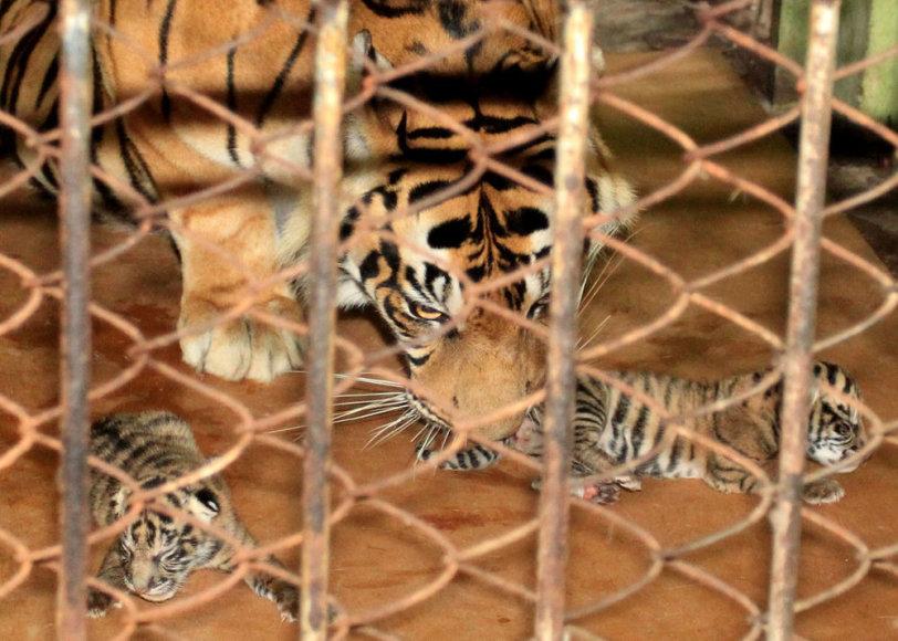 Aštuonerių metų patelė Uni tigriukų susilaukė šeštadienį