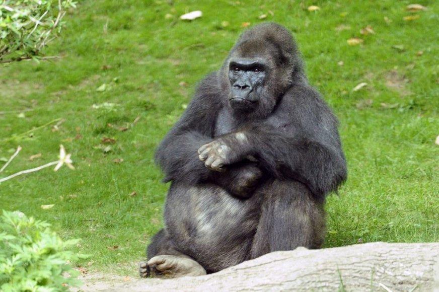 Gorila Pattycake