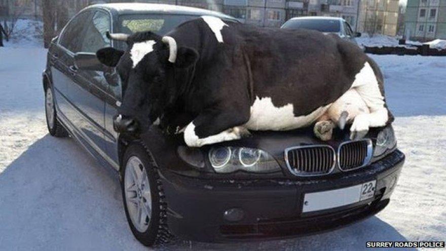 Karvė ant automobilio
