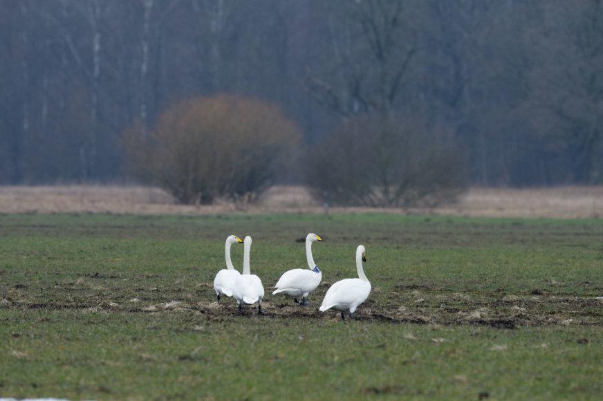 Selemono Paltanavičiaus nuotr./Gulbės giesmininkės rudenį ir pavasarį dienoja želmenų laukuose