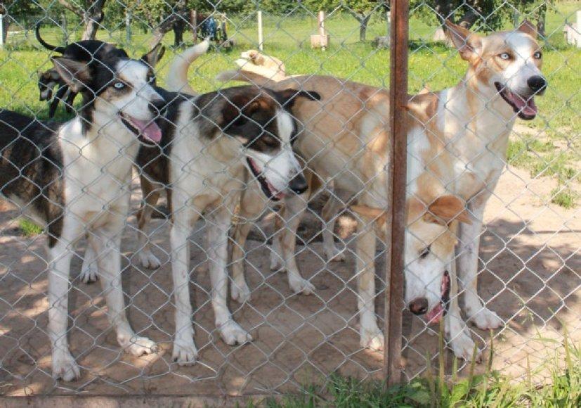 Rogių šunims vasarą lakstyti per karšta, tačiau rudenį ir pavasarį šie sportininkai kinkomi į ratukus