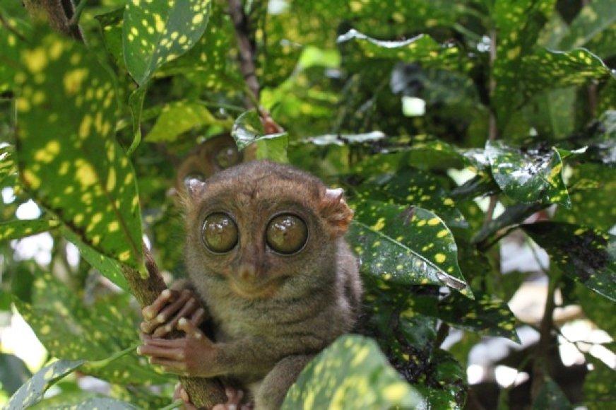 Mažiausias pasauilo primatas tarsyras gyvena Filipinuose