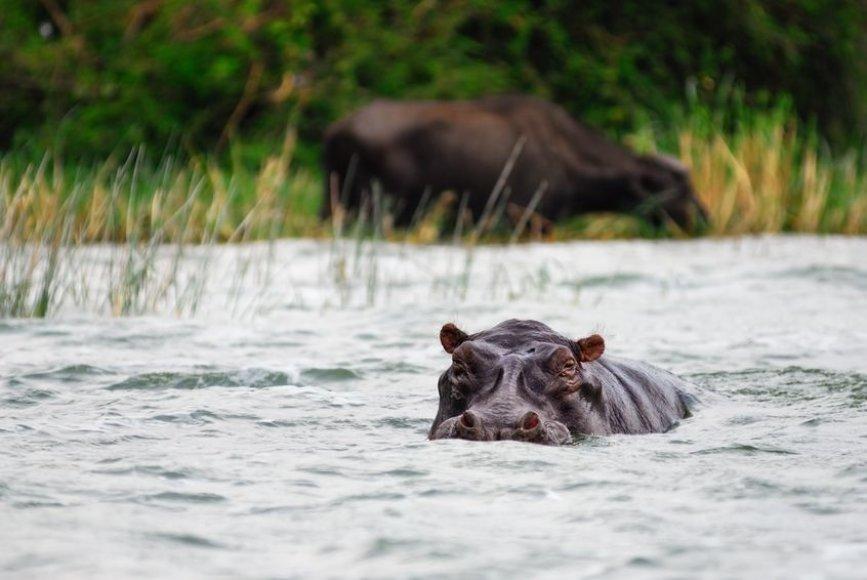 Begemotas Ugandoje