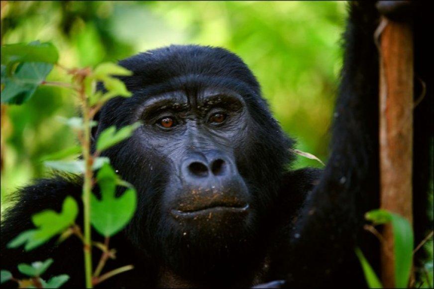 Į Virunga kalnus keliautojai traukia pamatyti nykstančių gyvūnų - kalnų gorilų.
