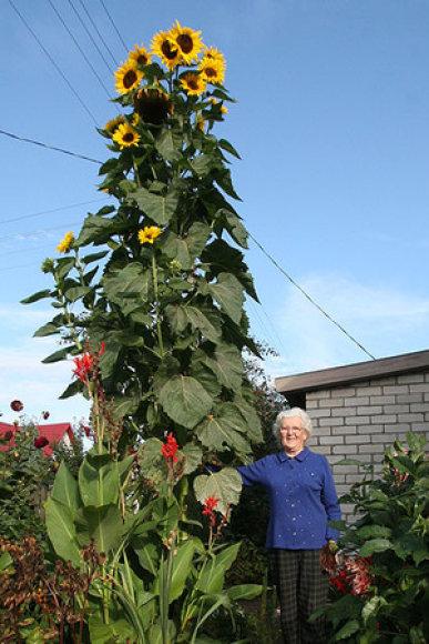 Tauragiškė Julija Andrijaitienė išaugino  4 metrų saulėgrąžą