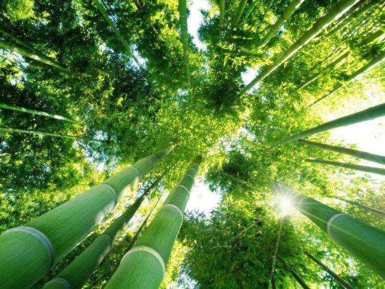 Bambukų miškas