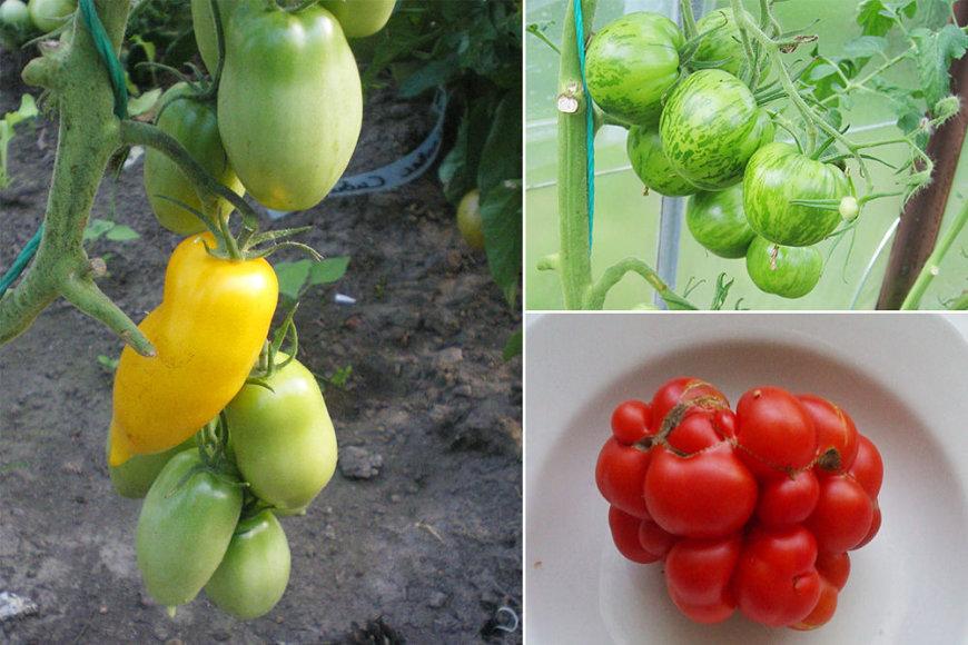 """""""Roman Candle"""", """"Green Zebra"""" ir """"Reisetomato"""" pomidorų veislės"""
