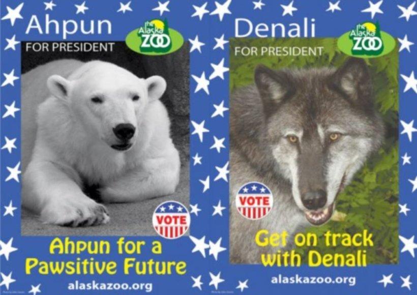 Į zoologijos sodo prezidentus kandidatuoja baltoji meška ir vilkas.