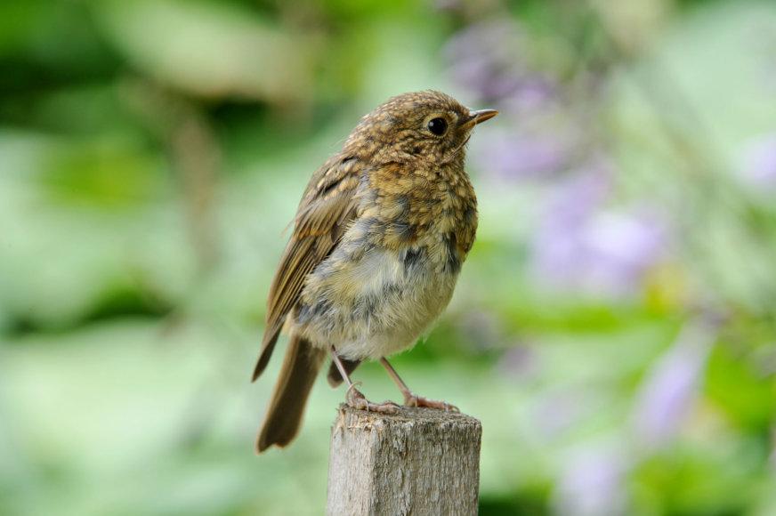 Selemono Paltanavičiaus nuotr./Liepsnelės jauniklis savo išvaizda visai nepanašus į suaugusį  paukštį.