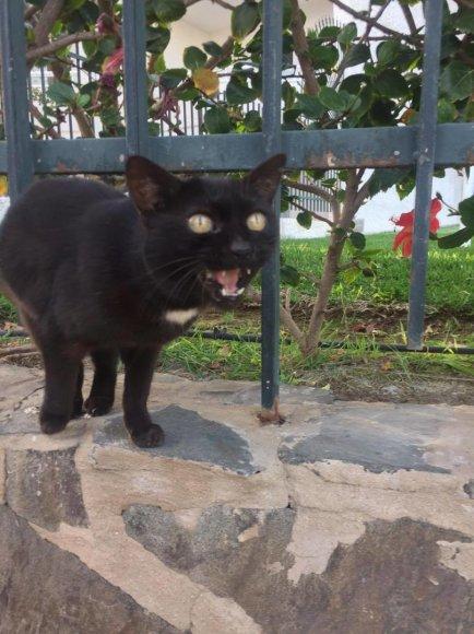 Piktosios Gran Kanarijos katės