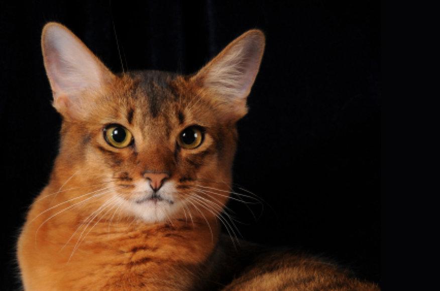Somalio katė
