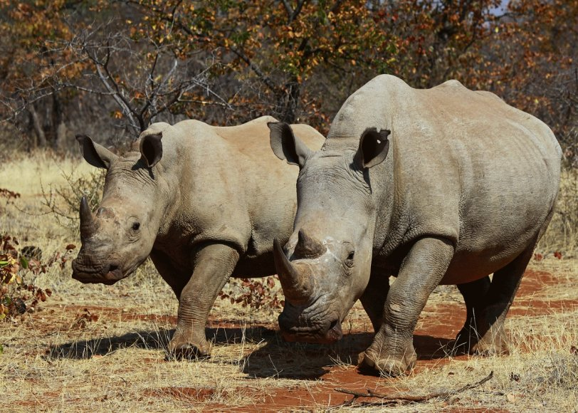 Afrikieciai. Baltieji raganosiais. Botsvana.